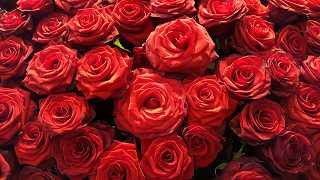 Rote Rosen - kostenlose Fotos