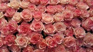rosa Rosen - kostenlose Fotos