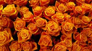 orange Rosen - kostenlose Fotos