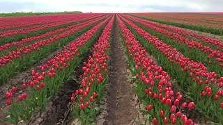 Tulpen in Schwaneberg 2016 - kostenlose Fotos