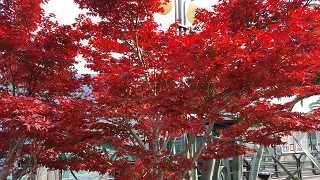 Roter Ahorn- kostenlose Fotos